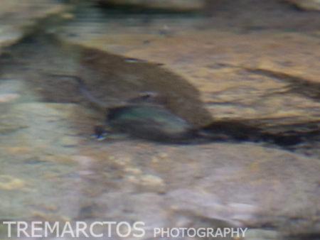 Pyrenean Desman (Galemys pyrenaicus)