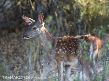 Red Deer Fawn (Cervus elaphus)