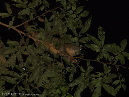Spix's Night Monkey (Aotus vociferans)