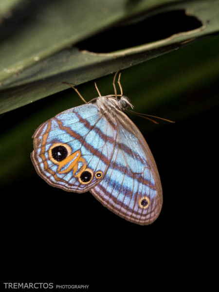 Butterfly at Shiripuno