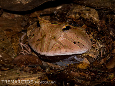 Amazonian Horned Frog (Ceratophrys cornuta)