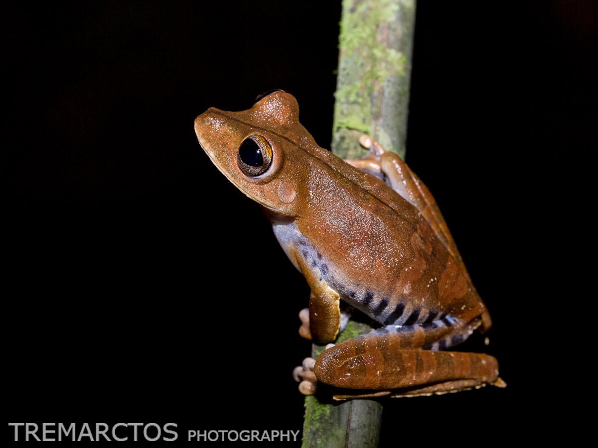 Convict Treefrog
