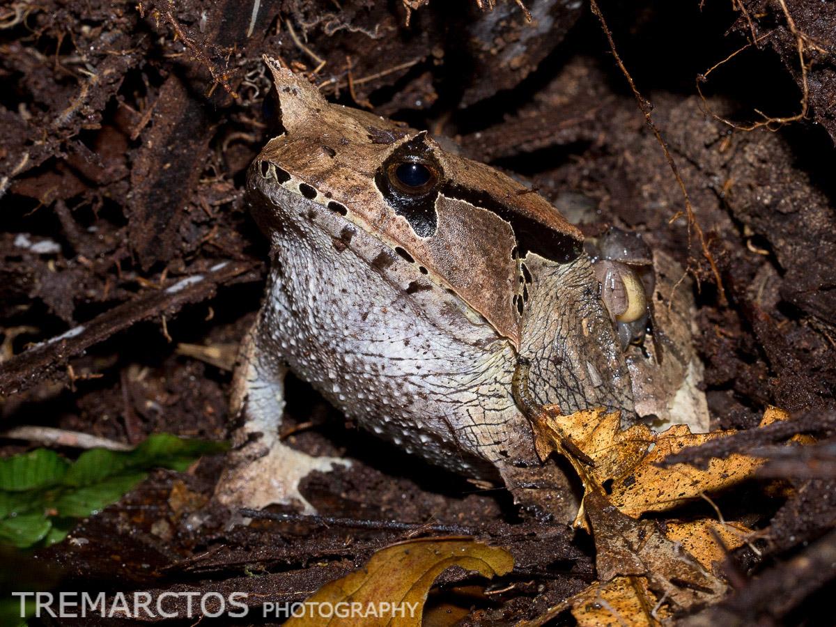 Spix's Horned Treefrog