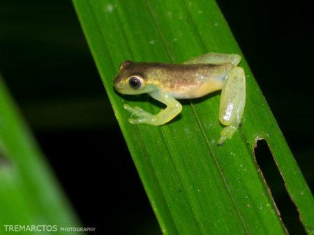 Torrenteer (Hyloscirtus sp)