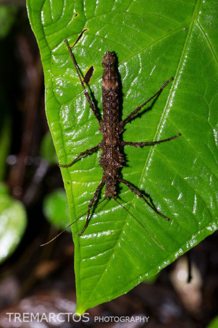 Stick Insect at Maquipucuna
