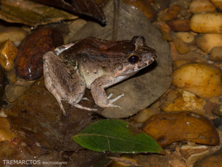 Wagner's White-lipped Frog (Leptodactylus wagneri)