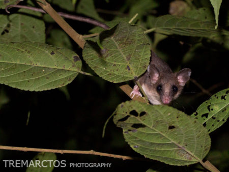 Mouse Opossum (Marmosa/marmosops sp)