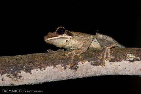 Unidentified Treefrog at Shiripuno