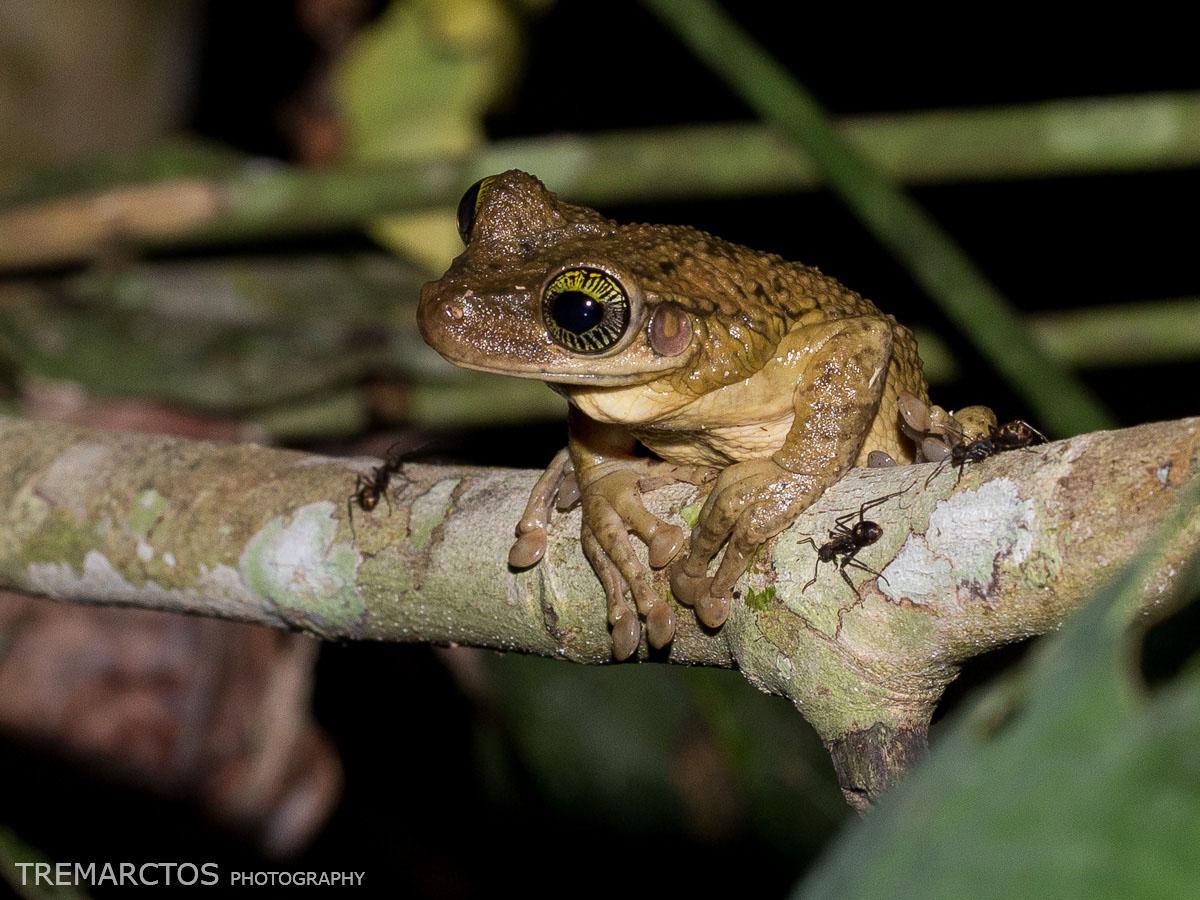 Manaus Slender-legged Treefrog