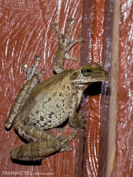 Manaus Slender-legged Treefrog (Osteocephalus taurinus)