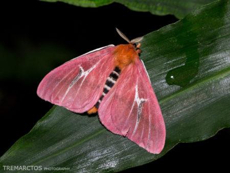 Silk Moth (Hemileucinae sp)