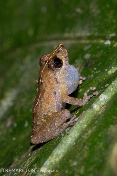 Frog (Pristimantis sp)