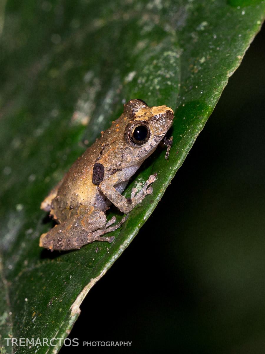 Pristimantis Frog