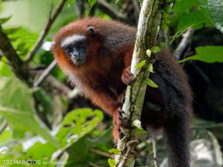 White-tailed Titi Monkey (Callicebus discolor)