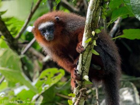 White-tailed Titi Monkey (Callicebus discolor)