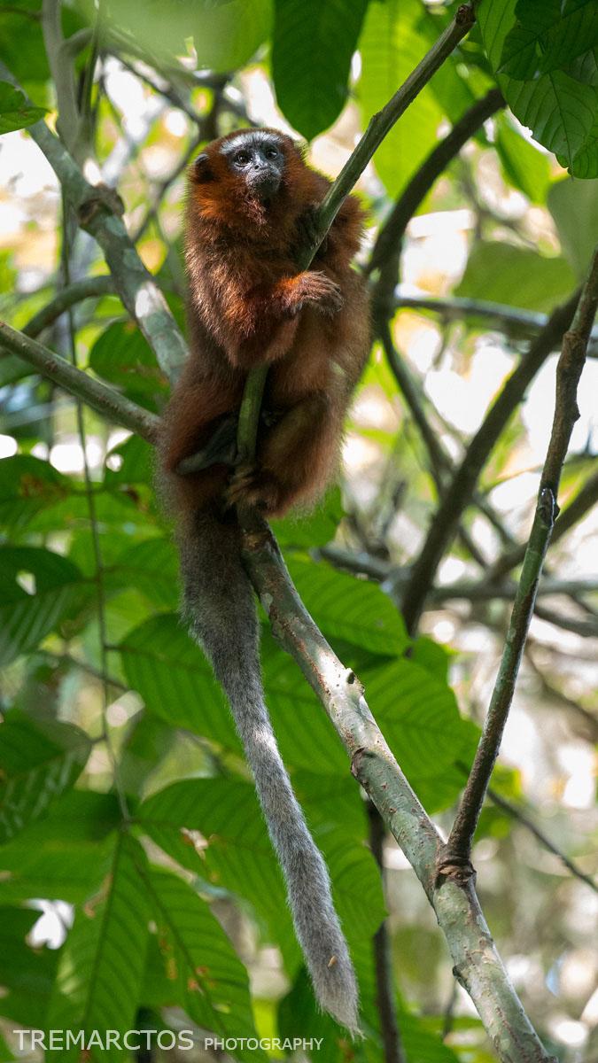 White-tailed Titi Monkey