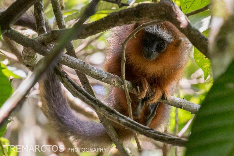 Baby White-tailed Titi Monkey