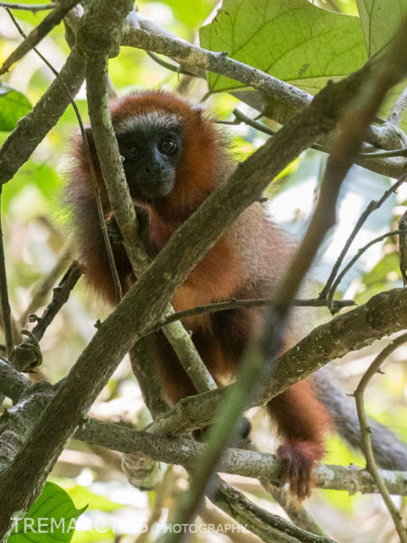Baby White-tailed Titi Monkey (Callicebus discolor)