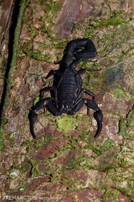 Scorpion (Scorpiones sp)