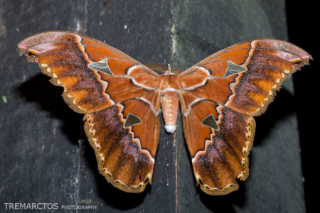 Silk Moth (Rothschildia sp)