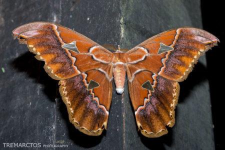 Silk Moth (Rothschildia sp)