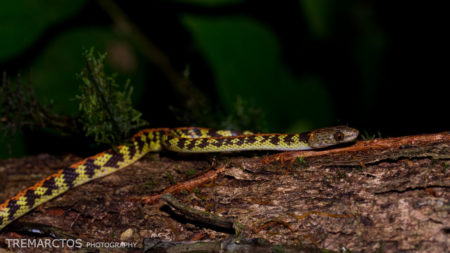 Panama Spotted Night Snake (Siphlophis cervinus)