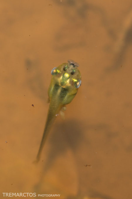 Beautiful Tadpole