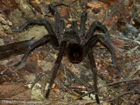 Tarantula (Theraphosidae sp)