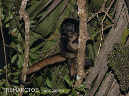 White-bellied Spider Monkey (Ateles belzebuth)
