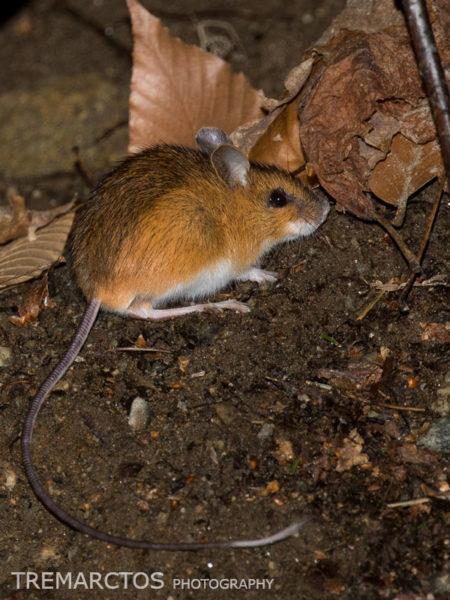 Woodland Jumping Mouse (Napaeozapus insignis)
