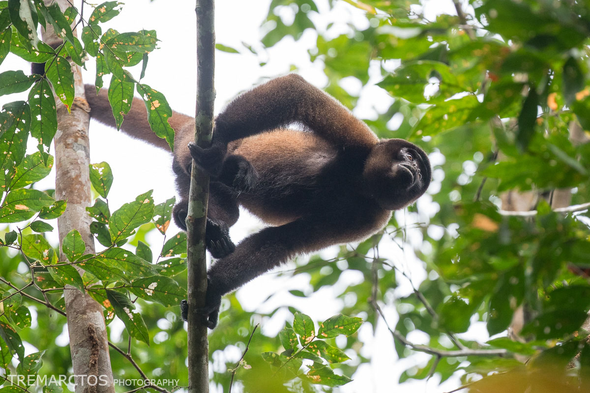 Silvery Woolly Monkey