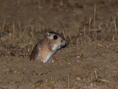 Giant Kangaroo Rat (Dipodomys ingens)