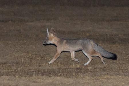 San Joaquin Kit Fox (Vulpes macrotis mutica)