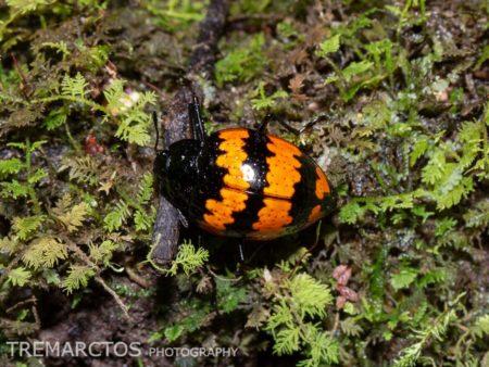 Pleasing Fungus Beetle (Erotylus sp)