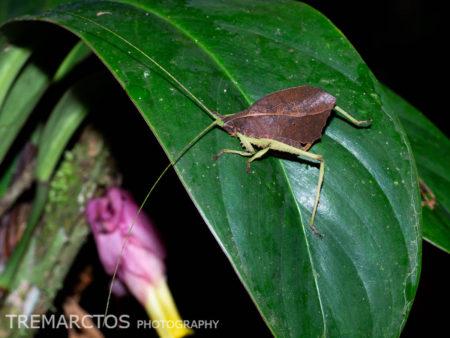 Leaf-mimic Katydid (Pterochrozinae sp)