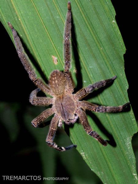Brazilian Wandering Spider (Phoneutria sp)