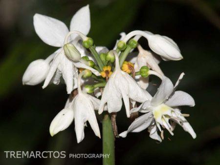 Amazon Lily (Eucharis sp)