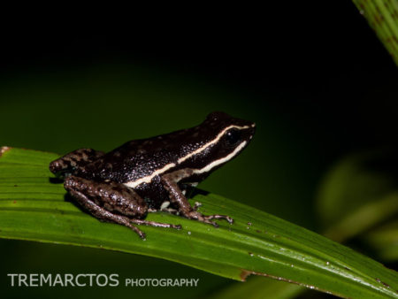 Pale-striped Poison Frog (Ameerega hahneli)