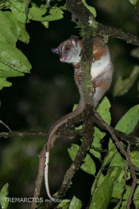 Brown-eared Woolly Opossum (Caluromys lanatus)