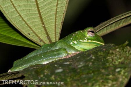 Pastaza Marsupial Frog (Gastrotheca longipes)