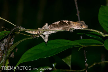 Yellow-tongued Anole (Anolis scypheus)