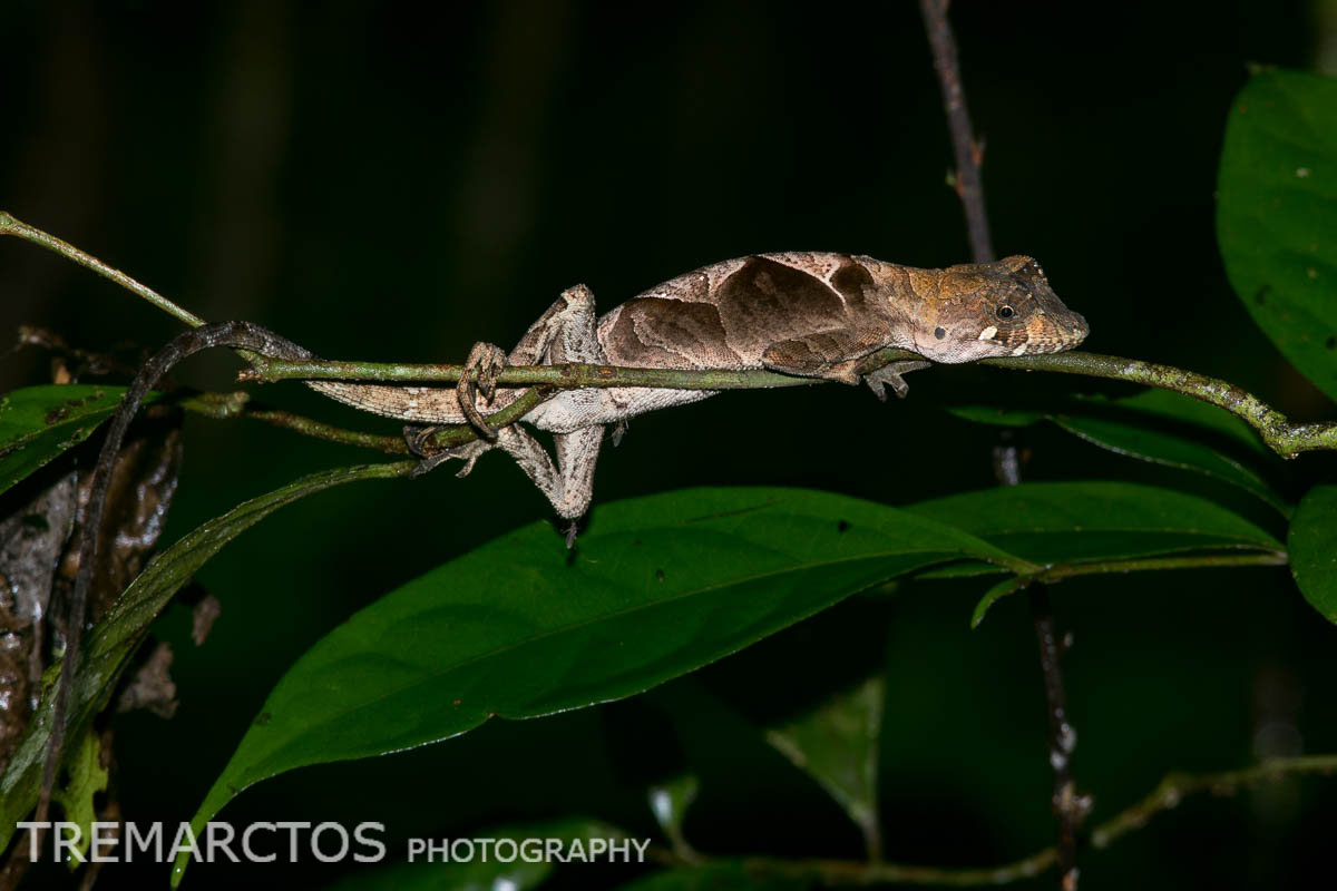 Yellow-tongued Anole