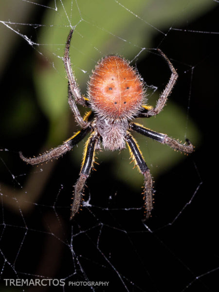Tropical Orb Weaver (Eriophora sp)