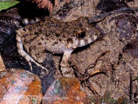 Common Big-headed Frog (Oreobates quixensis)
