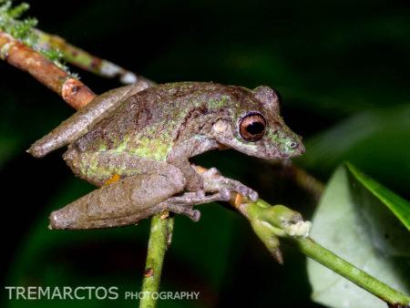 Fringe-lipped Treefrog (Scinax garbei)