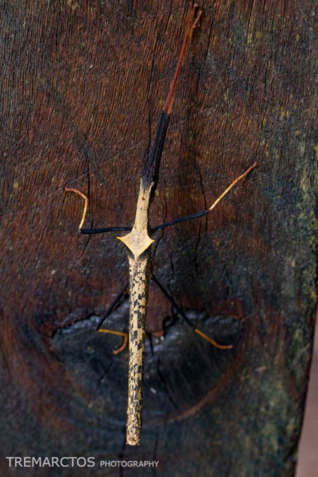 Two-spined Ecuador Stick Insect (Pseudophasma bispinosum)