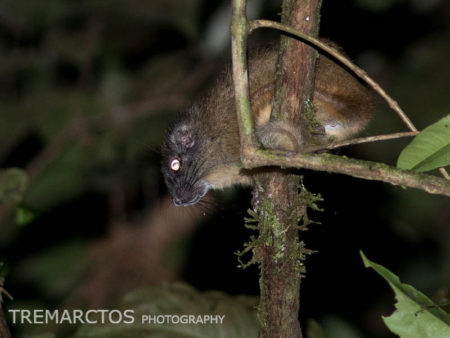 Yellow-crowned Brush-tailed Rat (Isothrix bistriata)