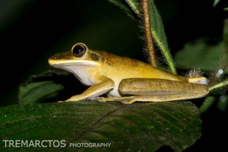 Rocket Treefrog (Boana lanciformis)