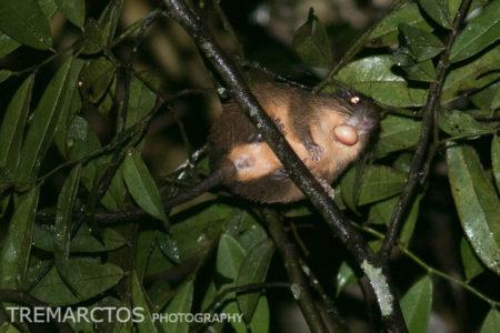 Undescribed Tree Rat (Makalata sp nov)