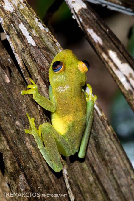 Rough-skinned Green Treefrog (Boana cinerascens)